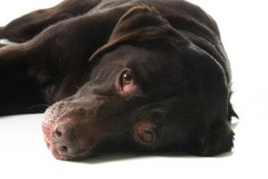 Stem Cell Therapy for Dogs