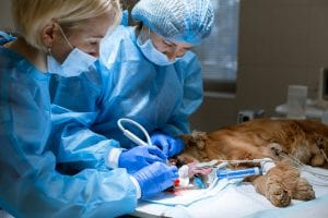 Anaesthesia free Dental for pets