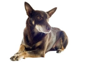 Stem Cell treatment for dog arthritis
