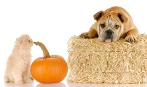 Pumpkin for dogs and cats
