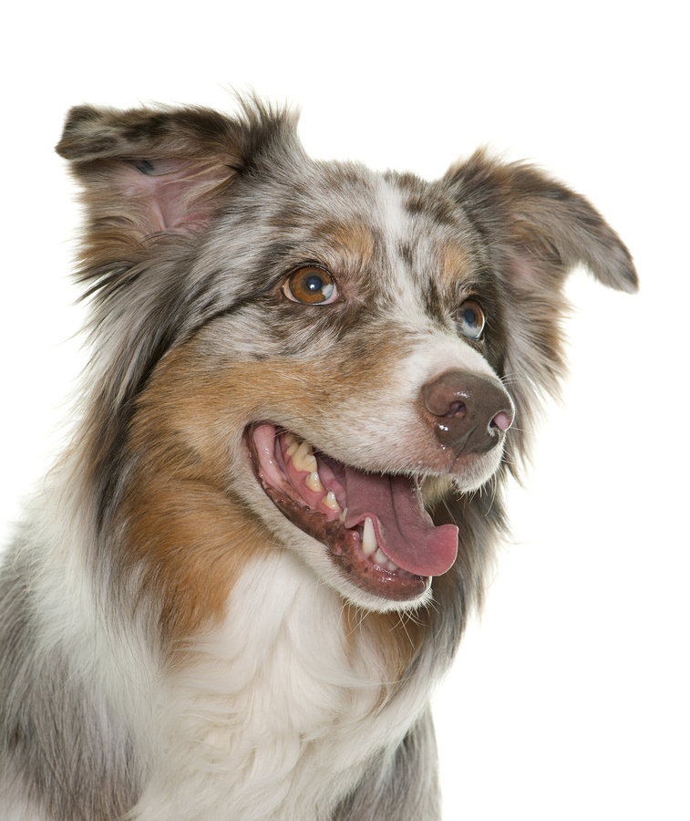 keyhole spay for dogs melbourne