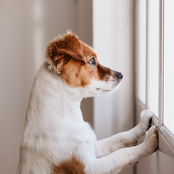 Small dog looking out window
